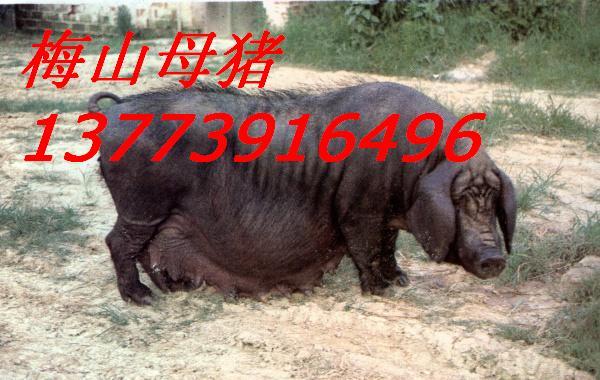 提供河北廊坊二元母猪价格