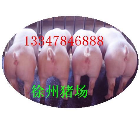 提供萍乡二元母猪价格