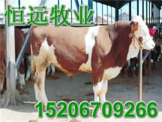 尔牛育肥小公牛波尔山羊鲁西黄牛肉牛肉羊