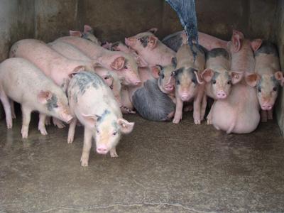 海城小猪崽价格