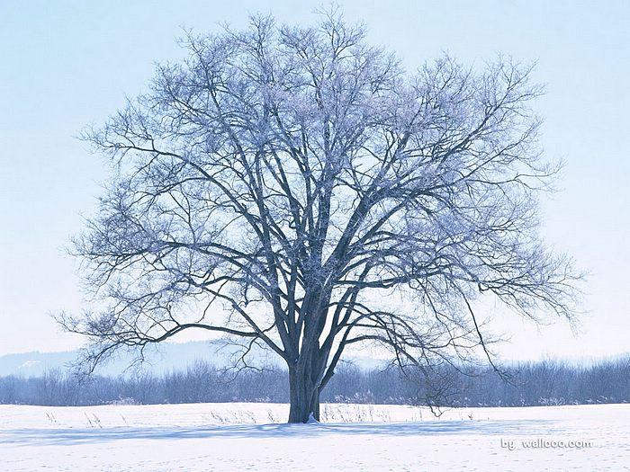 大树冬天风景图片