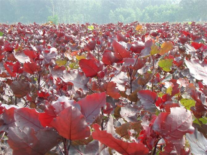 红杨树图片 红叶杨图片 红杨树图片