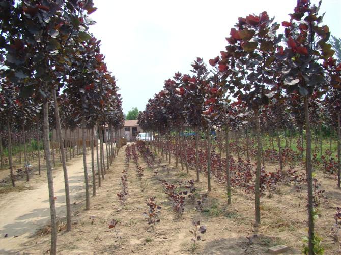 变色杨 杨树的木质 红杨树特点
