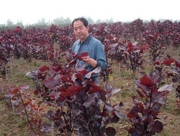 红杨树的发展趋势 杨树新品种