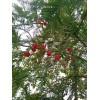 全国美丽乡村建设 植树绿化就选红豆杉苗木