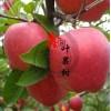 唐山原生苹果苗供应