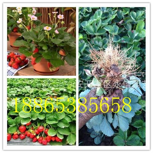 泰州法兰地草莓苗多少钱一棵美十三草莓苗