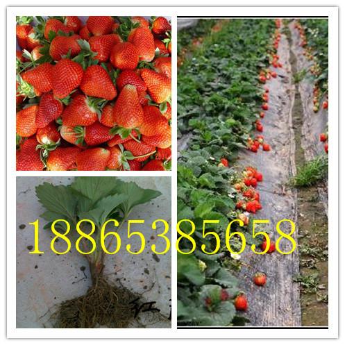 鞍山法兰地草莓苗多少钱一棵赛娃草莓苗