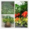 草莓苗种植大同草莓苗新品种