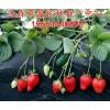 江西省吉安市永新县草莓良种荷兰大草莓草莓苗红宝石草莓苗厂家批