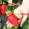 西岗区草莓良种有机草莓苗佐贺清香草莓苗市场价格