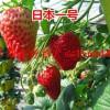 浙江省温州市永嘉县草莓良种美十三草莓苗甜查理草莓苗批发