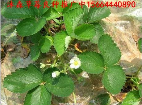 碌曲县草莓良种哈尼草莓苗有机草莓苗找哪家
