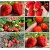 广西壮族自治区柳州市柳城县草莓良种草莓苗达赛莱克特草莓苗批发