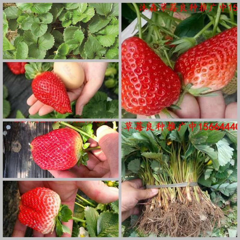 内蒙古自治区乌兰察布市兴和县草莓良种红花草莓苗白草莓苗市场走