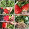 江西省赣州市安远县草莓良种甜宝草莓苗天香草莓苗草莓苗价格