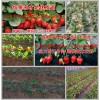 理县草莓良种甜查理草莓苗美十三草莓苗的价格