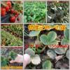 盘县草莓良种美十三草莓苗甜查理草莓苗厂家批发