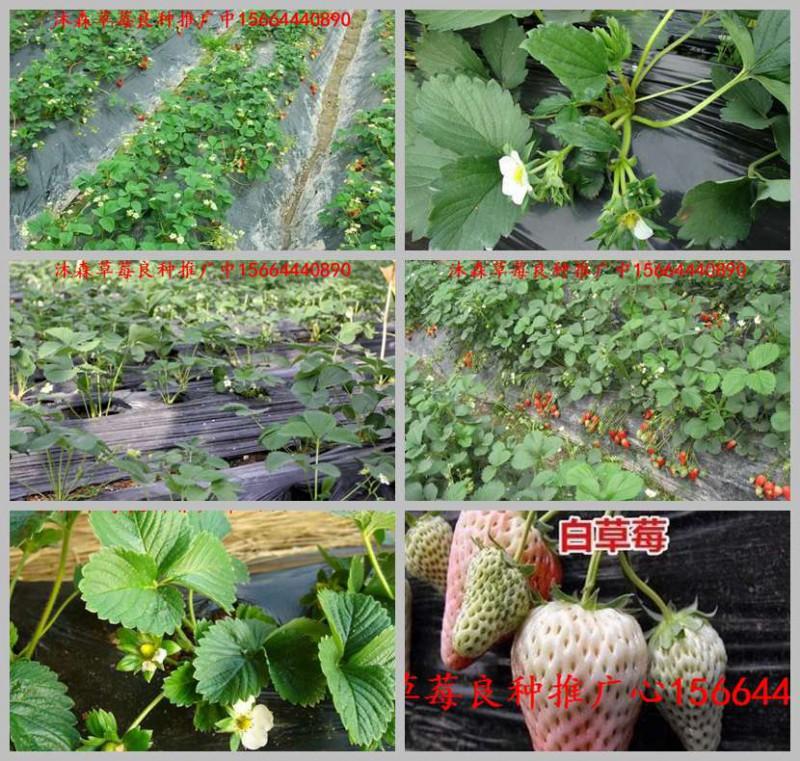 广东省云浮市郁南县草莓良种新明星草莓苗法兰地草莓苗供给商