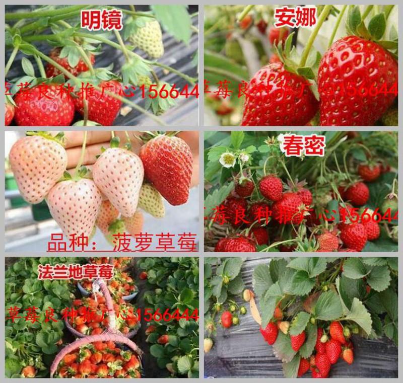 铁锋区草莓良种99草莓苗美六草莓苗出售