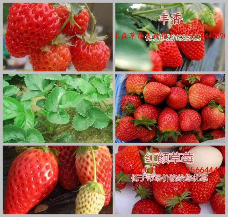 青岛市草莓良种安娜草莓苗草莓小苗找哪家