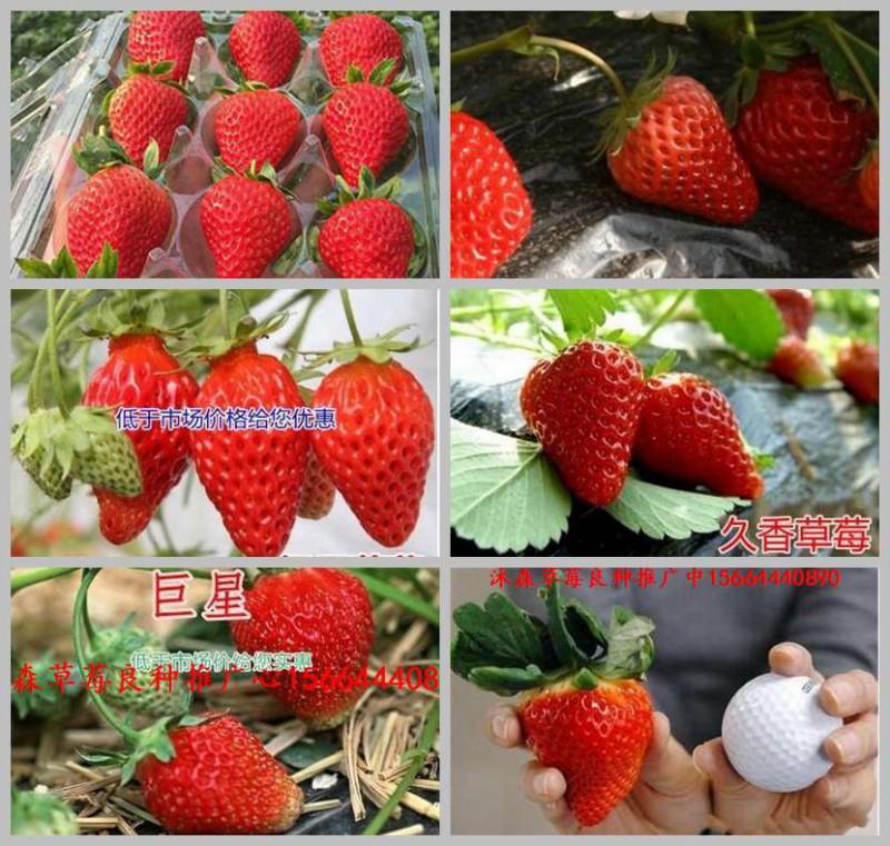 山东省济宁市兖州市草莓良种红脸颊草莓苗红宝石草莓苗的用处