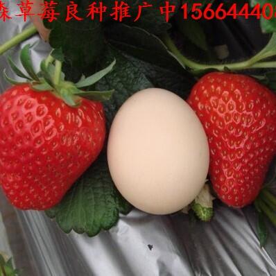 青海省玉树藏族自治州称多县草莓良种达娜草莓苗枥乙女草莓苗批发