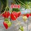平塘县草莓良种雪蜜草莓苗草莓苗草莓苗厂家
