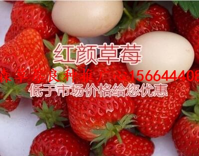 德格县草莓良种四季草莓苗红19草莓苗行情