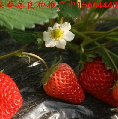 石鼓区草莓良种红玫瑰草莓苗雪蜜草莓苗批发