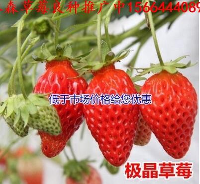 河南省驻马店市新蔡县草莓良种红宝石草莓苗新型草莓苗市场价格