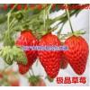 河北省保定市顺平县草莓良种荷兰大草莓草莓苗99草莓苗哪里买