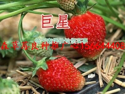 福建省漳州市龙文区草莓良种黑草莓苗明旭草莓苗批发商