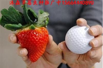 安徽省黄山市屯溪区草莓良种草莓皇子草莓苗秘宝草莓苗哪家买