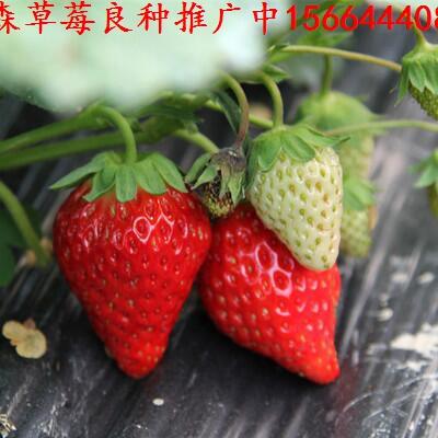 江苏省辽阳市宏伟区草莓良种星都1号草莓苗红脸颊草莓苗出售