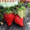 黑龙江省佳木斯市桦南县草莓良种钙维他草莓苗香蕉草莓苗批发