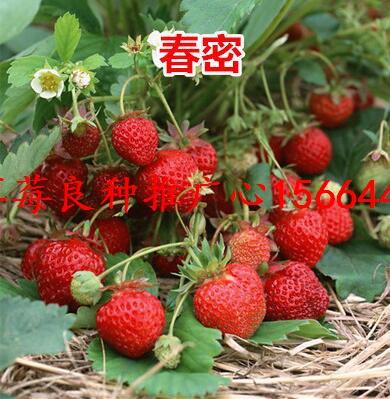 浙江省湖州市南浔区草莓良种小白草莓苗钙维他草莓苗出售