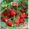 旬阳县草莓良种明晶草莓苗草莓苗供应