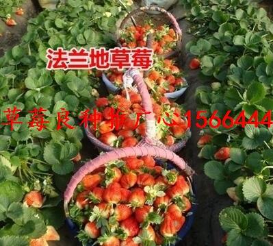邹平县草莓良种红艳草莓苗草莓苗甜宝草莓苗供给商