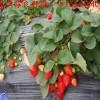 河南省开封市禹王台区草莓良种全明星草莓苗章姬草莓苗批发