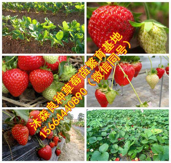 黑龙江省哈尔滨市延寿县草莓良种以色列二号草莓苗菠萝草莓苗出售
