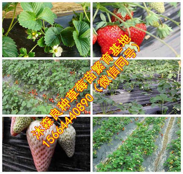 山东省潍坊市临朐县草莓良种全明星草莓苗章姬草莓苗厂家供货