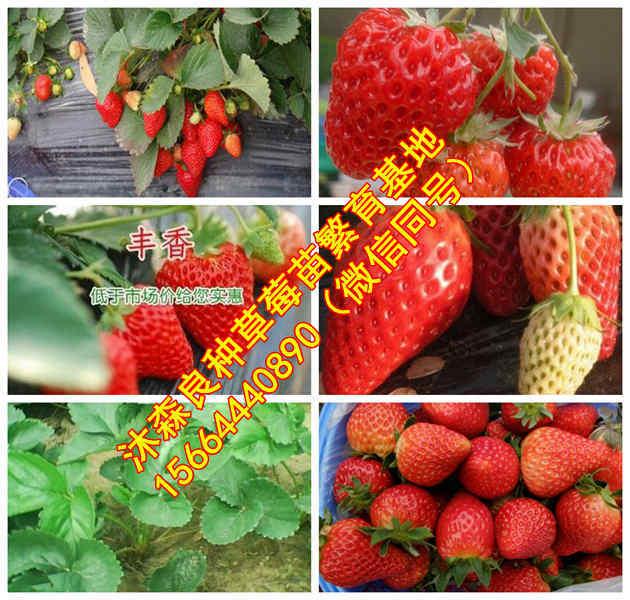 安顺市草莓良种丹东99草莓苗草莓苗批发