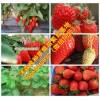 广东省清远市连南瑶族自治县草莓良种明晶草莓苗草莓苗市场报价
