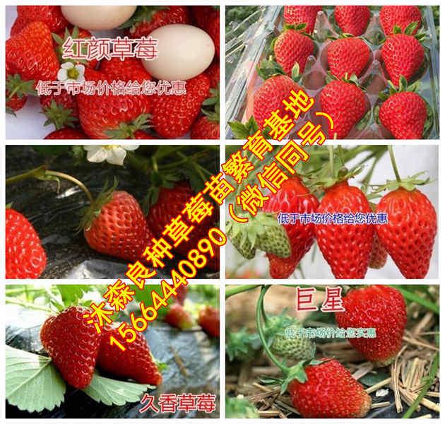 江西省赣州市石城县草莓良种圣安德瑞斯草莓苗明宝草莓苗生产厂家