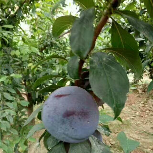 海南三亚草莓苗技术-技术要点