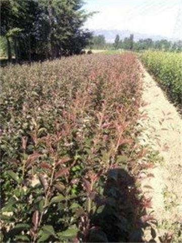 吐魯番哪里有溫室草莓苗技術