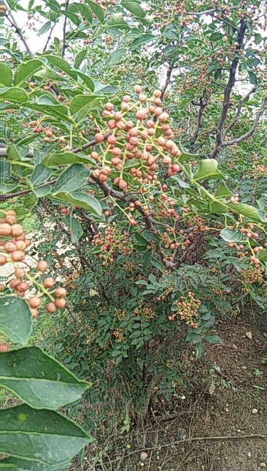 云南保山哪里有草莓苗資訊