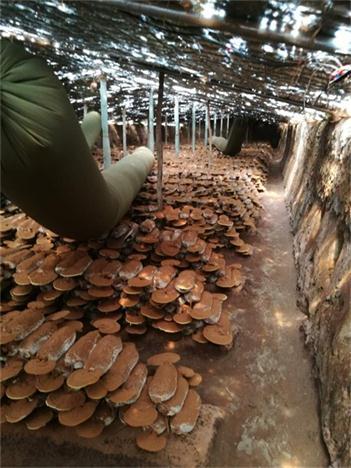 盘锦灵芝破壁孢子粉做厂家