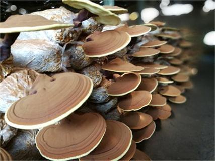 玉樹藏族自治州破壁靈芝孢子粉做效果